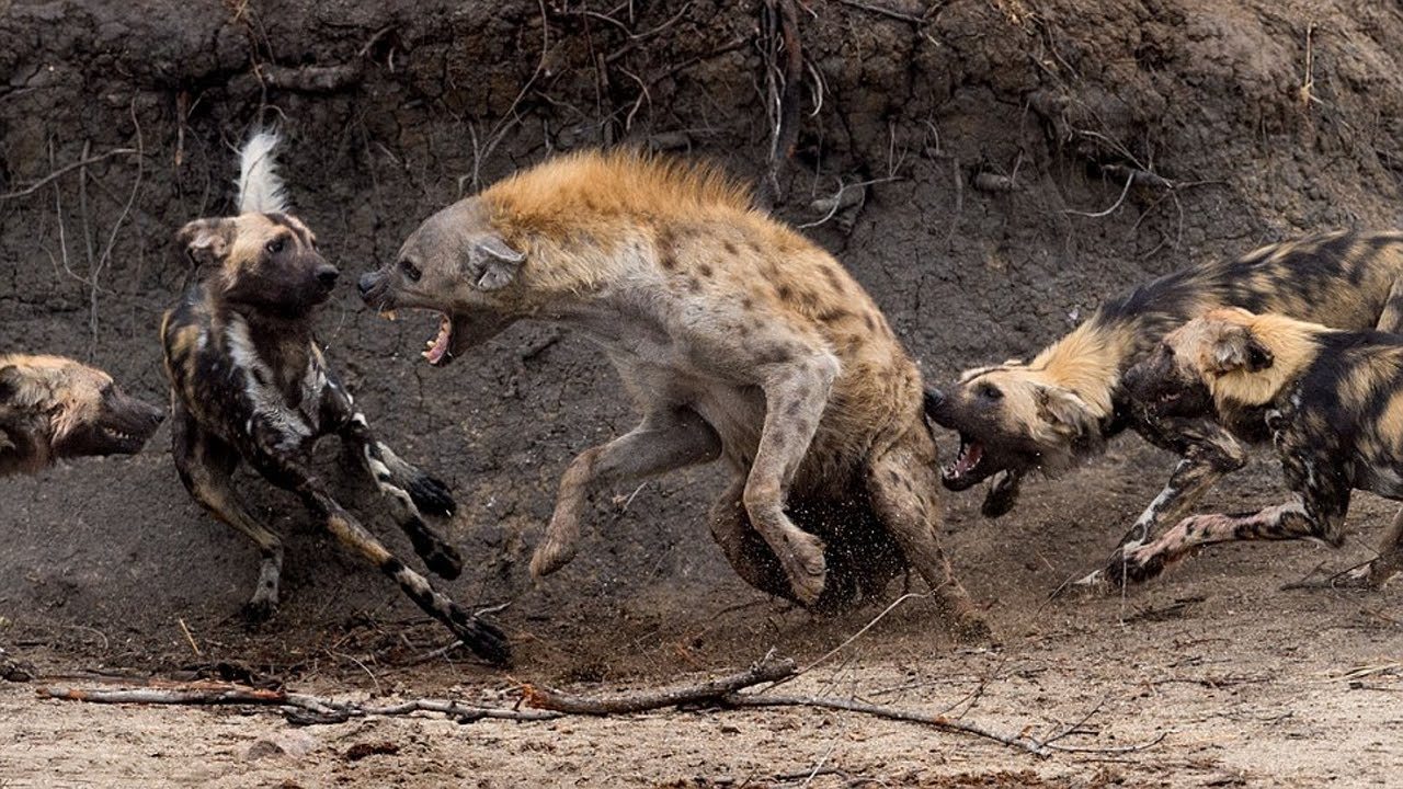 Reasons Why African Wild Dogs Cannot Be Domesticated - YouTube